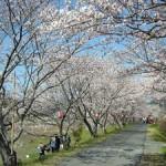 太田川堤防の桜
