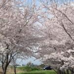 岩田小学校西の桜並木