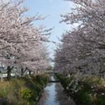 豊田川の桜並木