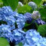 フラワーパークの花菖蒲・紫陽花