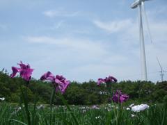 白砂公園の花菖蒲