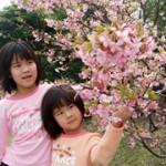 白砂公園の河津桜