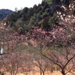 小國神社梅園