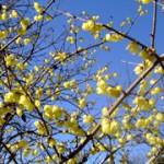 アクティ森の蝋梅