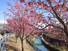 掛川桜(カケガワザクラ)