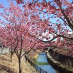 逆川の掛川桜(カケガワザクラ)